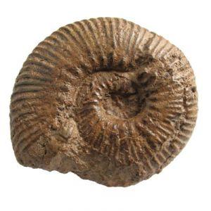 Ammonite Grammoceras (Francia)