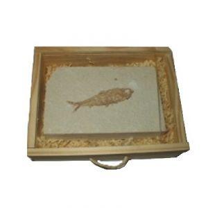 Pesce Knightia (U.S.A.) SL2
