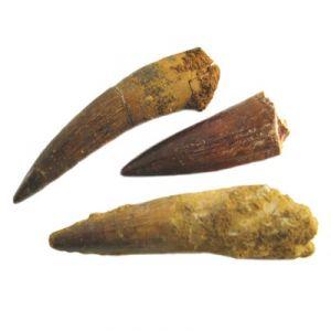 Dente di Spinosauro (Marocco)