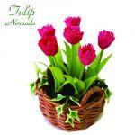 Tulipano Noranda