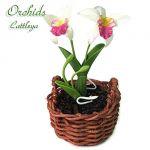 Orchidea Cattleya Bianca