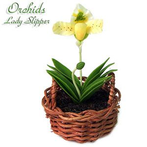 Orchidea Lady Slipper