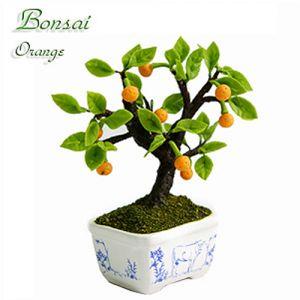 Bonsai Arancio (Bufalo)