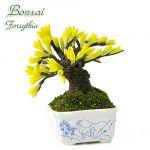 Bonsai Forsizia (Capra)